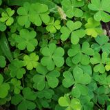 Green leaf Clover plant texture closeup background. S, Nature abstract texture backgrounds royalty free stock photo
