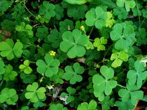 Green leaf Clover plant texture closeup background. S, Nature abstract texture backgrounds royalty free stock photography