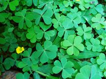 Green leaf Clover plant texture closeup background. S, Nature abstract texture backgrounds stock images