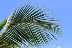 Green leaf of coconut palm tree.  Stock Photo