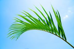Green leaf of Coconut palm tree on blue sky background.  Stock Photography