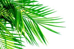 Green leaf of Coconut palm tree isolated on white background Stock Photography