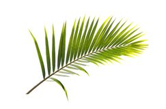 Green leaf of Coconut palm tree isolated on white background.  Royalty Free Stock Photos
