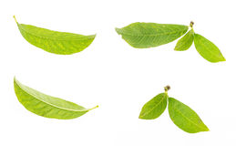 Green leaf collection, isolated on white Royalty Free Stock Image