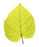 Green leaf of Common linden isolated on white Royalty Free Stock Photography
