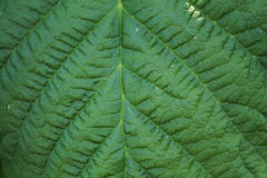 Green leaf corrugated texture for abstract background close up. Raspberry leaf with pattern Stock Image