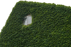 Green Leaf cover Building except window Royalty Free Stock Image