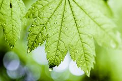 Green leaf covered in morning dew in the sun Royalty Free Stock Images