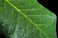 Green leaf covered by water droplets. Macro photograph of a green leaf covered by water droplets Stock Photos