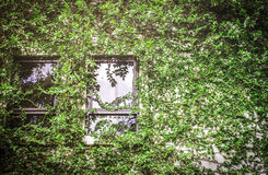 Green leaf covering building wall Stock Image