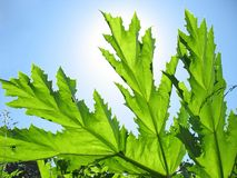 Green leaf cow-parsnip. Royalty Free Stock Image