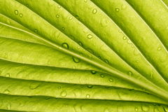 Green leaf - detail. Detail of green leaf in back light with water drops Royalty Free Stock Photo