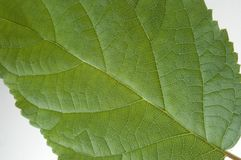 Green leaf detail. Extreme close up of a green leaf from a tree Royalty Free Stock Photos