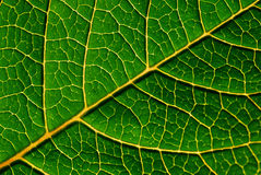 Green leaf detail. Beautiful veins Royalty Free Stock Photos