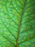 Green leaf detail. Close-up of a green leaf with its veins and textures Stock Photo