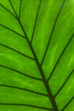Green leaf detail. Detail green leaf texture photo Stock Photography