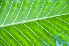 Green leaf detail. Close-up of a large green leaf showing detail Royalty Free Stock Photography