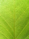 Green leaf detail. Closeup of Green Mulberry Leaf - Frame filled Royalty Free Stock Images