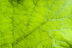 Green leaf detail. Full frame fresh green leaf detail Royalty Free Stock Photography