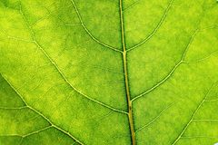 Green leaf detail lit by sunlight Stock Photo