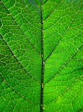Green Leaf Detail. Green Leaf Macro Detail Background Texture Stock Photo