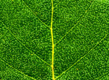 Green Leaf Detail. Green Leaf Macro Detail Background Texture Royalty Free Stock Image
