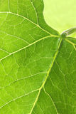 Green leaf detail. Macro background to use for Earth Day or spring and summer seasons Stock Photo