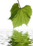 Green leaf with detailed veins. Reflected on rippled water Royalty Free Stock Photo