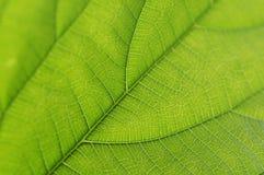 Green leaf details Royalty Free Stock Images