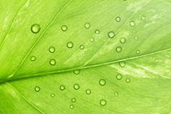 Green leaf with dew Royalty Free Stock Image