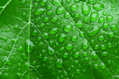 Green leaf and dew Stock Photography