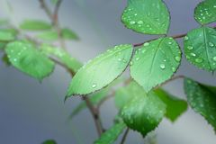 Green leaf with dew drops closeup. Nature Background. Close-up of green rose leaves with raindrops. background of dew drops on bright green leaf. green leaf with Royalty Free Stock Photos