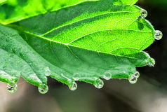 Green leaf with dew drops Royalty Free Stock Photos