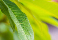Green leaf with drop Royalty Free Stock Photos