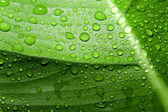 Green leaf with drop of water Royalty Free Stock Images
