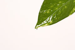Green leaf with drop of water Royalty Free Stock Image