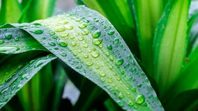 Drops of water on green leaf or refreshing dew in morning. Stock Images