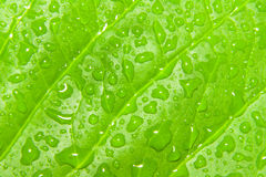 Green leaf droplets Royalty Free Stock Image