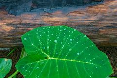 Green leaf with droplets against wood texture on the background Stock Photography