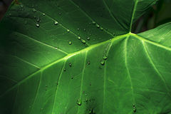 Green leaf and dropped water Stock Image