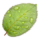 Green leaf with drops Stock Images