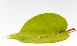 Green leaf with drops Royalty Free Stock Image