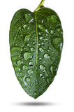 Green leaf with drops Stock Photography