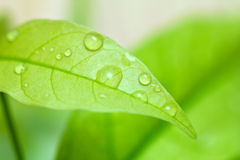 Green leaf with drops of water. Royalty Free Stock Photos