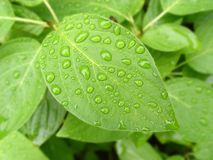 Green Leaf with Drops of Water. Green leaf with water drops/morning dew Stock Photography