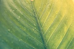 Green leaf with drops of water - Abstract green striped nature b. Ackground, Natural photography Vintage tone royalty free stock photos