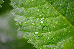Green leaf with drops of water. Beautiful green leaf with drops of water Royalty Free Stock Image