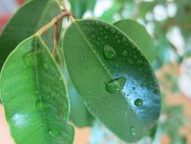 Green leaf with drops of water stock photo