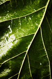 Green leaf with drops of water Royalty Free Stock Photo