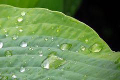 Green leaf with drops of water Royalty Free Stock Image
